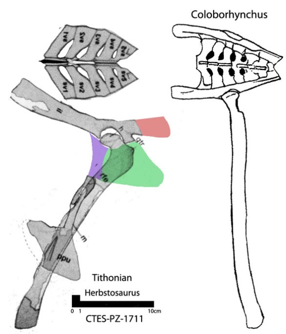 Figure 1. Herbstosaurus on the left compared to Coloborhynchus on the right. The sacrum is similar, but more swept back in Herbstosaurus. The femoral head is disssimilar.