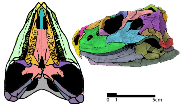 Fig. 1. Kaikaifilursaurus from the Cenomian, Cretaceous, is the overlooked late surviving rhynchocephalian sister to the rhynchosaurs. Yes, the lateral temporal fenestra is secondarily infilled. Image from Apesteguía and Novas 2003.