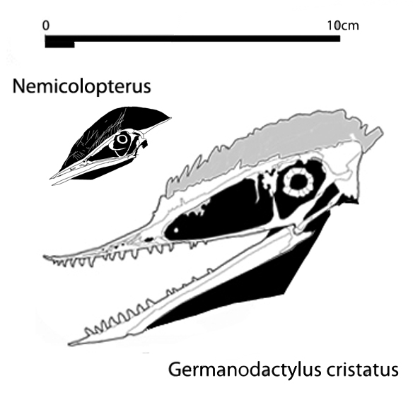 Figure 5. Comparison of Germanodactylus and the much smaller Nemicolopterus, linking G. cristatus  and Dsungaripteridae to Tapejaridae and Shenzhoupterus. The anterior jaws and teeth of Nemicolopterus are reconstructed from impressions in the matrix. We'll look at that in future posts.
