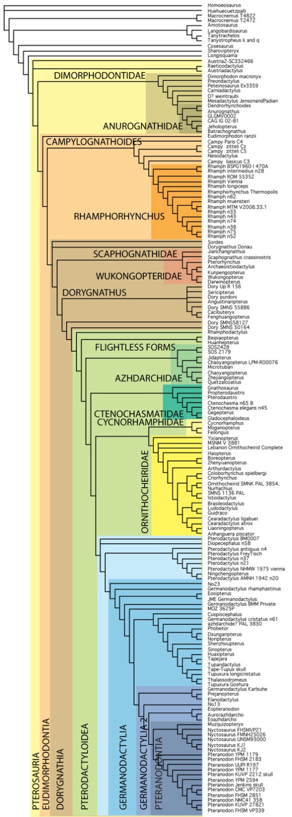 """The large pterosaur tree with 40+ tiny pterosaurs deleted. The result now includes a monophyletic """"Pterodactloidea."""" Otherwise, not too many changes."""