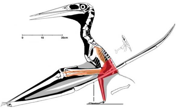 A completely different situation here with Nyctosaurus bonneri, in which the forelimbs are much longer than the hind limbs. Could those forelimb muscles provide a sufficient leap to clear the ground with those giant wing fingers before it comes crashing back to earth. Better to extend the wings while bipedal on those meaty thighs, then start flapping, running and leaping.