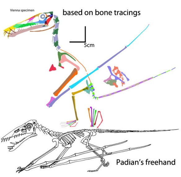 It's better to trace bones accurately than to freehand reconstructions. Moreover, the quadrupedal pose Padian promotes has several errors (fingers not lateral, hands in front of shoulders, humerus over abducted).