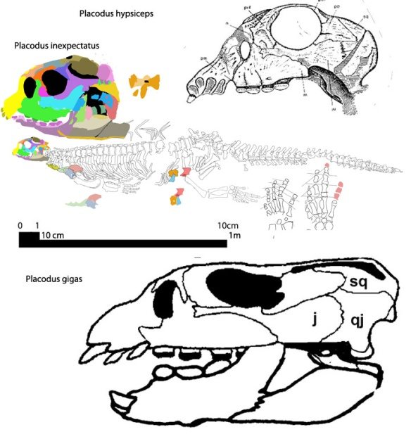 Figure 1. Click to enlarge. Placodus inexpectatus GMPKU-P-1054, together with two other European Placodus species, P. gigas and P. hypsiceps. The 2008 Chineses placodont shares more traits with P. hypsiceps. The scale bar here reflects the holotype description (probably correct) and the image scale bars that are identified as 10mm. There are three images in Jiang et al (2008). All should read 10 cm, rather than 10mm, if 205 cm is correct for the length.