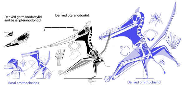 Figure 3. Comparing toothy ornithocheirids to toothless pteranodontids. There is convergence here, but the large pterosaur tree demonstrates these two clades are not related until you get back to Scaphognathus.