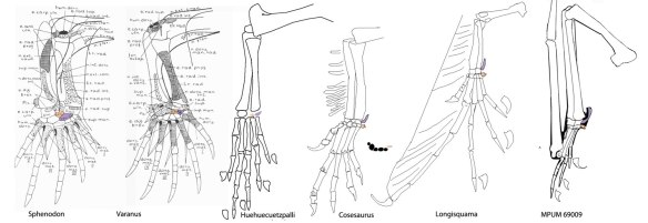 The origin of the pterosaur pteroid and preaxial carpal from lepidsoaur centralia.