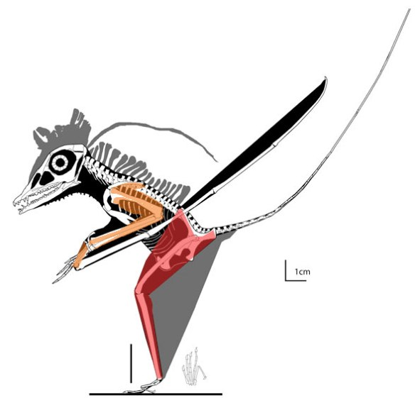MPUM 6009 with red and orange layers applied to show muscles. The hind limbs are well muscled, fully capable of leaping. The forelimbs are incapable of touching the ground without a very awkward butt-high configuration.