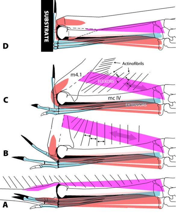 Figure 1. Pterosaur (Santanadactylus) wing folding. Note when the wing is perpendicular to the metacarpus the flexor must be off axis in order to complete the wing folding process. The insertion  must be distal to the joint because the flexor process of m4.1 extends dorsally over the metacarpus during wing folding. Otherwise the ventral (palmar) flexor would be cut off from the swinging dorsal process.