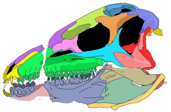 The revised skull of Scelidosaurus taken from more distance for less distortion.