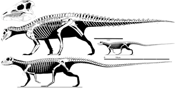 Figure 1. Scelidosaurus and Scutellosaurus to scale and to the same relative length. Why don't they nest together? They both have armor. The both resemble one another in several details. Phylogenetic analysis shows that three included taxa separate these two as Scutellosaurus nests with Lesothosaurus.