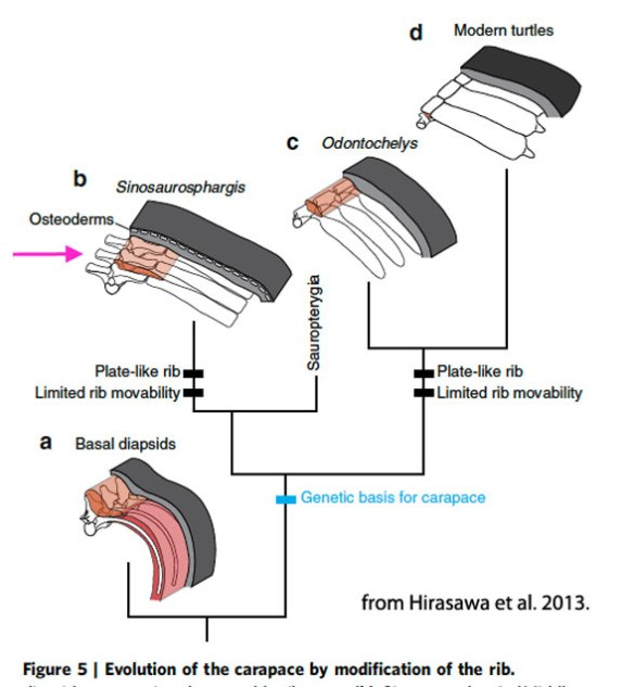 from Hirasawa et al. 2013, pink arrow points to elongate transverse processes on Sinosaurosphargis. These are not present on Odontochelys and turtles.