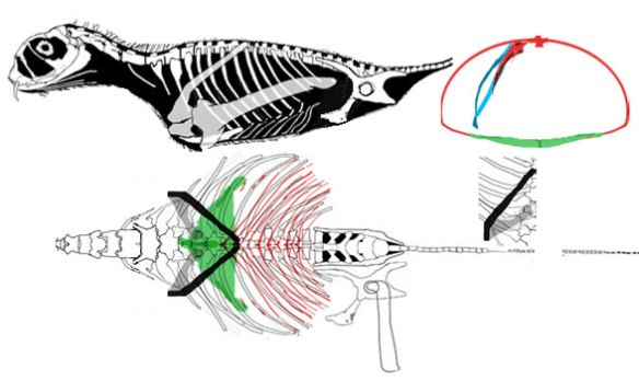 Figure 1. Jeholopterus. Most workers avoid and overlook details like these, but here are the gastralia, ribs and sternal complex, along with a cross section of the torso, wider than tall.