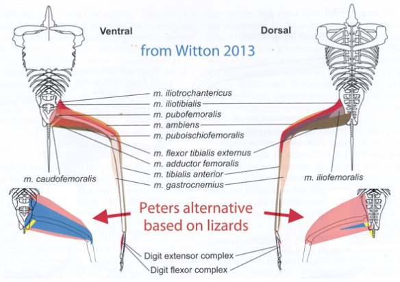 Pterosaur hind limb muscles according to Witton (2013, above) and based on lizard musculature (Fig. 2).