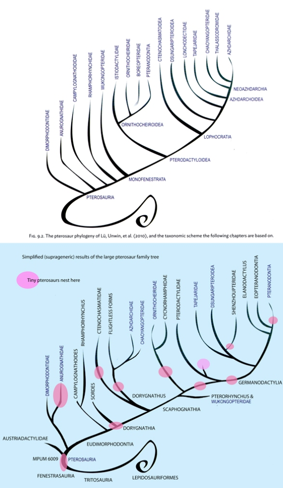 Figure 1. Pterosaur phylogenies (above) according to Witton (2013) based on Unwin and Lü 2005, Below, simplified results of the large pterosaur tree based on specimens. Note there are no outgroups in Witton's tree. In Witton's tree there are many strange bedfellows and no tiny pterosaurs (in pink), which is the main reason why the trees look so different.