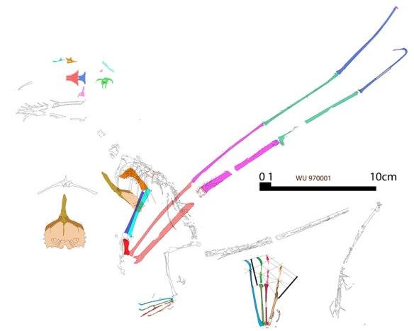 Figure 2. Sometimes it helps to reconstruct roadkill fossils like the Washington University Rhamphorhynchus WU 970001.