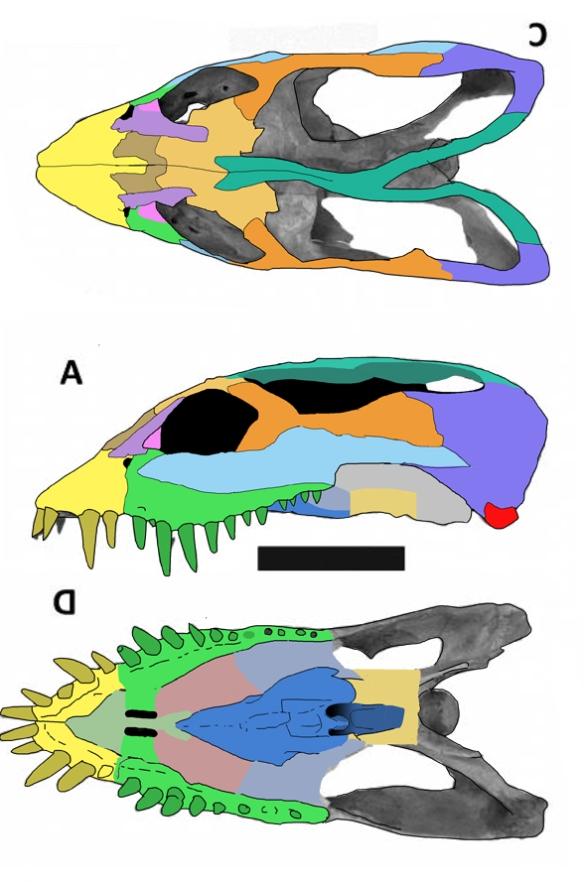 Figure 1. Zarafasaura, the short-faced plesiosaur.