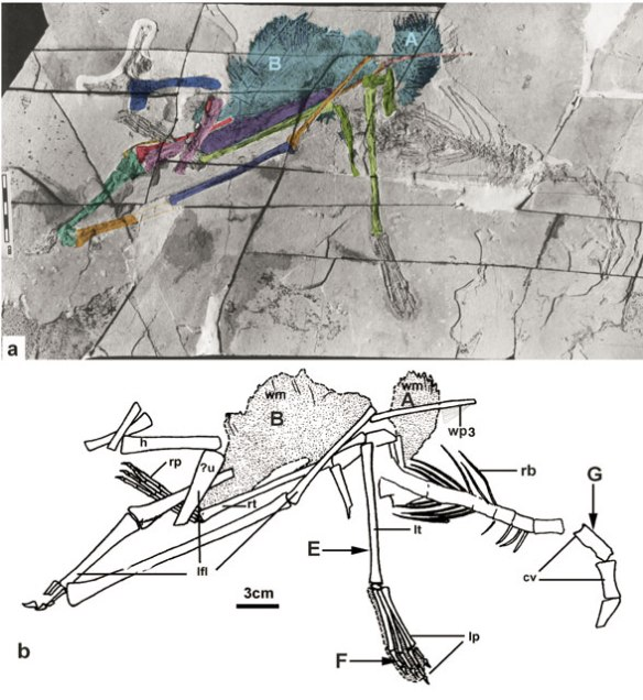 Figure 1. Beipiaopterus in situ plus the Lü 2003 interpretation of the elements. M4.1 is actually m4.1+2 based on comparisons with sister taxa and the wing has the requisite 4 wing phalanges + the ungual.