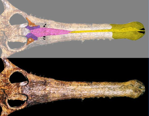 Figure 3. The rostrum of a champsosaur color coded to identify the premaxilla (yellow), nasals (pink), prefrontals (purple) and lacrimals (orange). The vestigial or nascent antorbital fenestrae are in black, along with the snout-tipped nares (at far right).