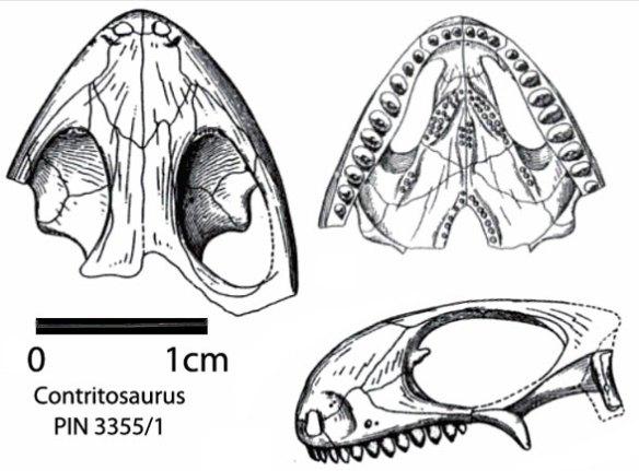 Contritosaurus is close to Owenetta and Coletta according to Modesto et al. 2002.