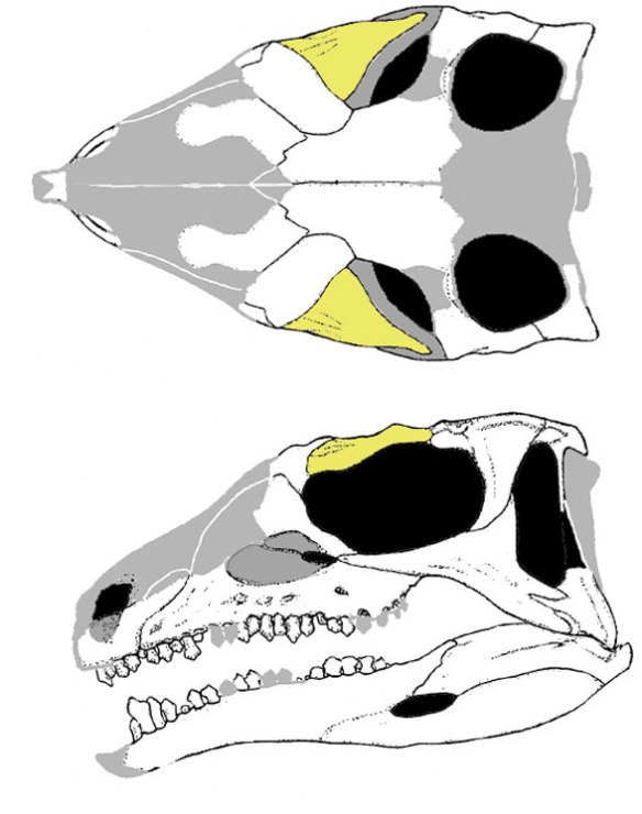 Figure 1. Emausaurus skull. This taxon nests with the armored basal ornithischian Scelidosaurus.