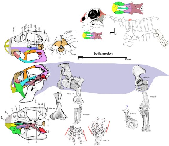 Figure 1. Eodicynodon the basal dicynodont and Galeops the derived dromasaur. Did dicynodonts arise from dromasaurs? Not likely according to the large reptile tree which nests Stenocybus as their last common ancestor.
