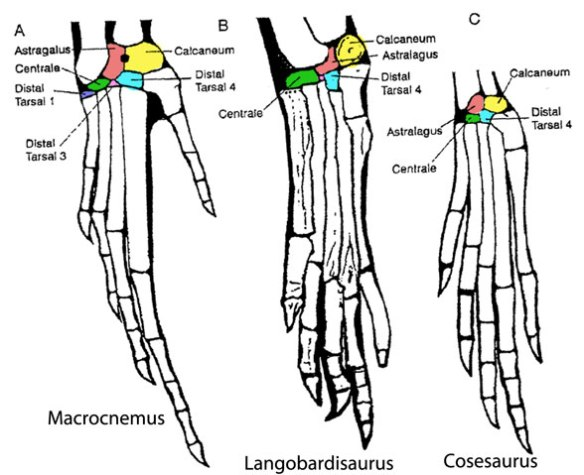 Figure 2. The tarsi of Macrocnemus, Langobardisaurus and Cosesaurus demonstrating the reduction of ankle bones. None of these fuse to the tibia.