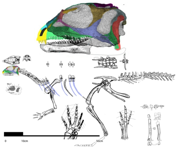 The post-crania of Hexinlusaurus reveals it to be a small-skull taxon with long running legs.