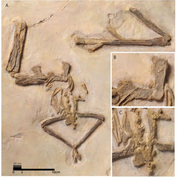 Nyctosaurus (Perez 2012) LACM 51130.