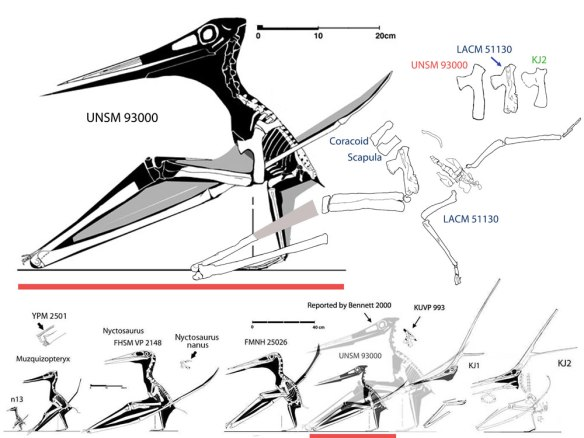 Figure 2. Reconstructions of several Nyctosaurus including UNSM 93000 and LACM 51130. To the right are three Nyctosaurus humeri showing morphological and size change toward the crested form, KJ2.