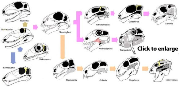 Figure 2. Basal therapsids and sisters to their ancestors. The short skull of Stenocybus is retained by anomodonts like Microurania.