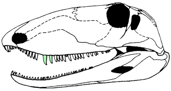 Ophiacodon skull with canines highlighted in green.
