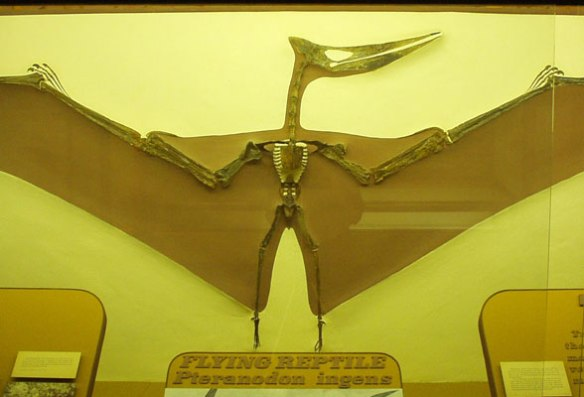 Figure 1. A Pteranodon chimaera created from the bones of several species. KU VP 2212.