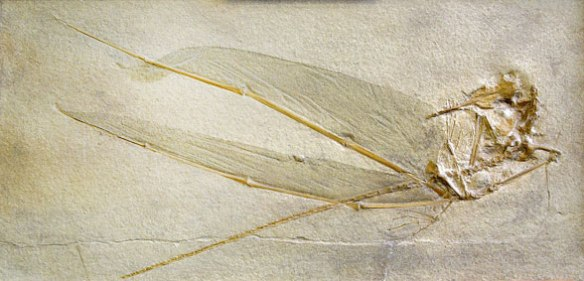 Figure 3. A specimen of Rhamphorhynchus demonstrating how the wing membrane starts to separate from the wing finger during taphonomy.