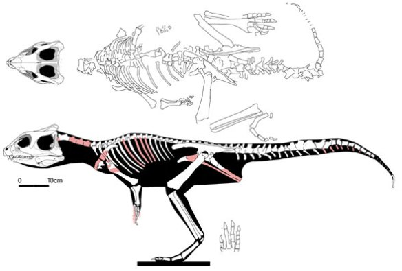 Figure 3. Yinlong overall. This basal ceratopsian had a larger skull, shorter neck and shorter tail than Hexinlusaurus, its phylogenetic predecessor.