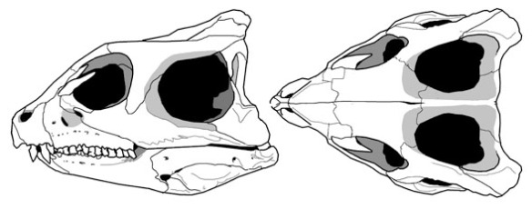 Figure 2. The skull of Yinlong a basal certatopsian. The marked concavity in the postorbital of Hexinlusaurus is accented in Yinlong.
