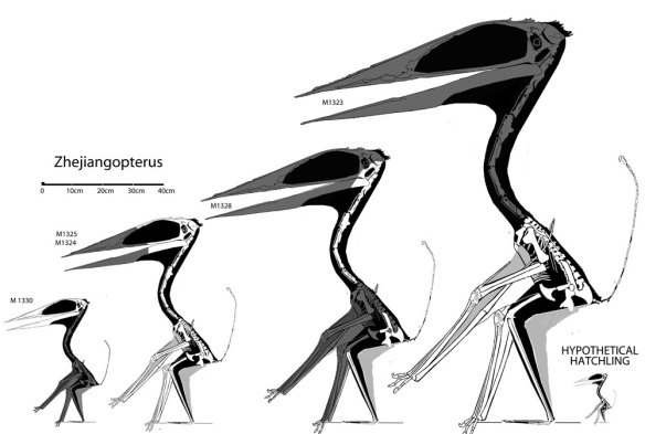 Figure 1. Click to enlarge. There are several specimens of Zhejiangopterus. The two pictured  in figure 2 are the two smallest above at left. Also shown is a hypothetical hatchling, 1/8 the size of the largest specimen.