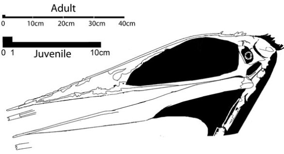 Figure 4. Zhejiangopterus skull. Two scale bars are shown for the large and small specimens.