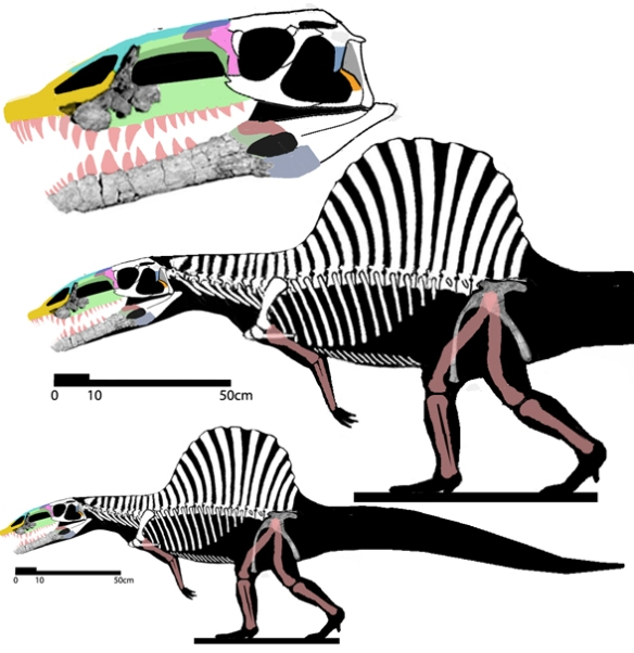 Figure 1. Arizonasaurus configured as a biped. The depth of the pubis suggests a similar length for the femur and tibia. The gracile pectoral girdle suggests a gracile forelimb. The long deep tail is based on the related Yarasuchus.