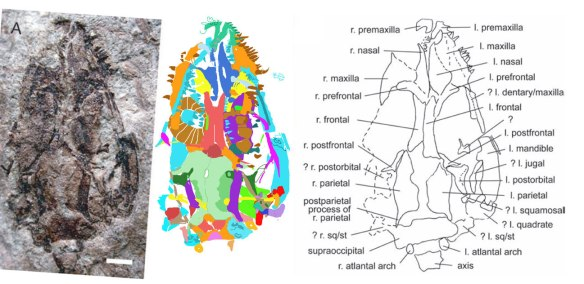 Figure 1. The skull of the Daohugou lizard IVPP V1347. At left, in situ. Middle as traced using DGS methods. At right, as figured by Evans and Wang 2005.