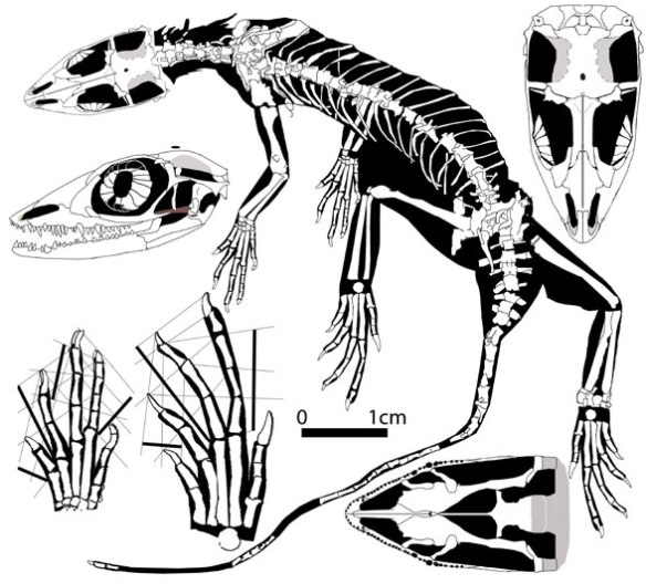 Figure 2. The Daohugou lizard reconstucted. It's closest known relative is the basal tritosaur lepidosaur, Lacertulus.