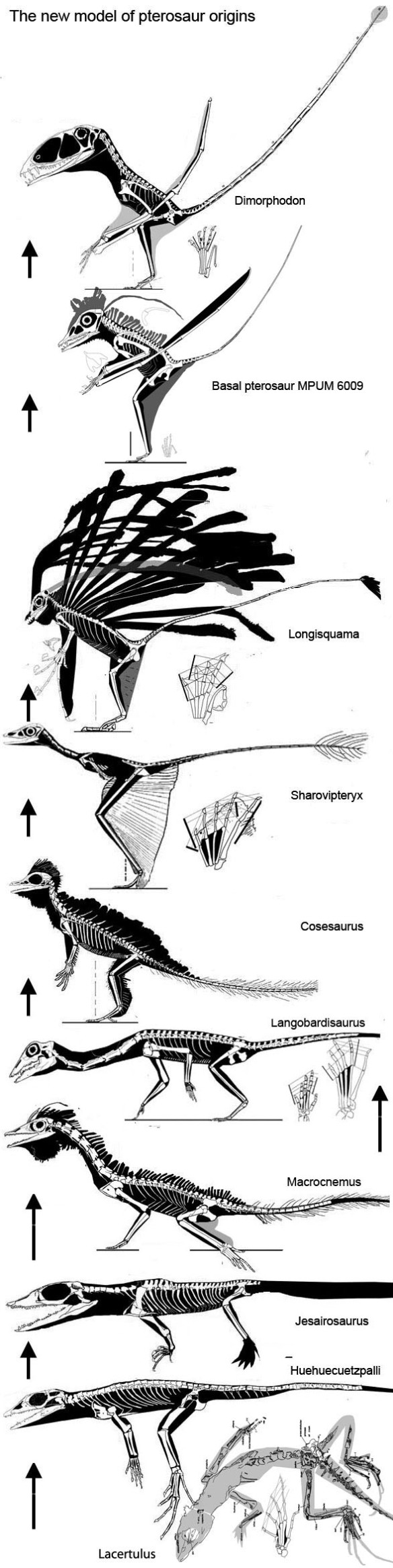 Click to enlarge. Squamates, tritosaurs and fenestrasaurs in the phylogenetic lineage preceding the origin of the Pterosauria.