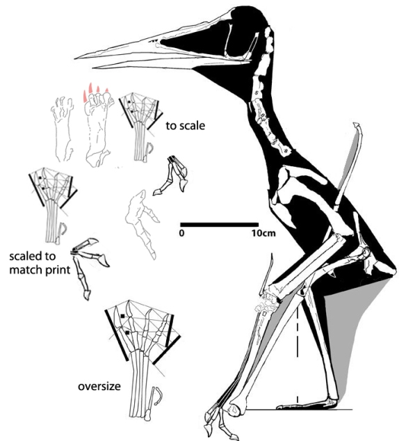 Figure 1. Jidapterus compared to the new Lower Cretaceous pterosaur tracks. It's a pretty close match.
