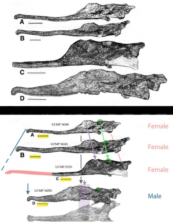 Figure 2. Above, the photograph as published. Note the different length scale bars. Below, all scaled to the same length. The single male Pseudopalatus phytosaur skull is smaller than two females.