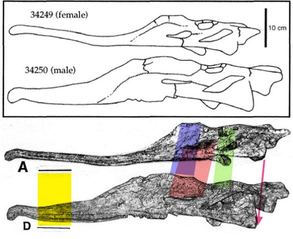 Figure 1. Original line drawing and scale bar of the phytosaur Pseudopalatus vs. photographs and scale bars. Something is a little off here. Even so, the case for sexual dimorphism appears to be strong.