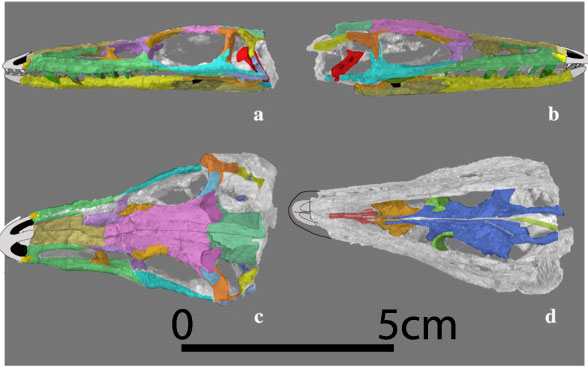 Figure 2. SMNS 12591a, a basal croc skull close to the ancestry of dinosaurs.