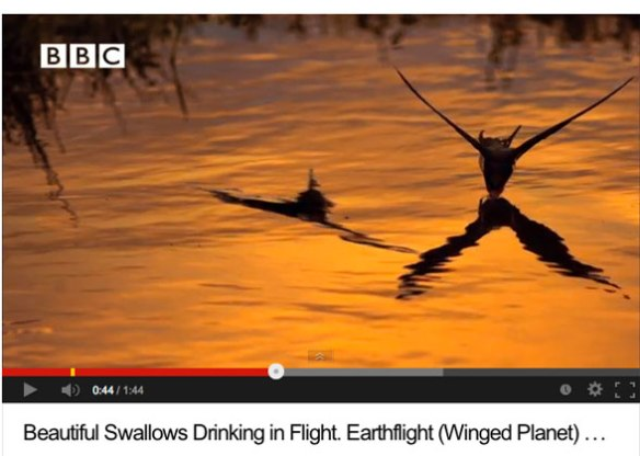 "From the BBC special on birds entitled, ""Earthflight."" Swallows drinking while on the wing."