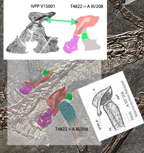 Figure 1. Macrocnemus pelvis, specimens identified. Cocked to the right is the Rieppel (1992) interpretation that caused me to think there actually could be an anterior process on the ilium. The process is actually the ventral process, where the pubis connects.