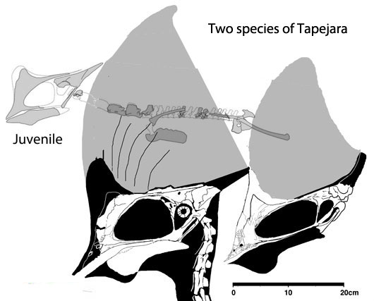 Figure 4. Juvenile Tapejara with two adults of distinct species. Note the rather large crests on the juvenile, but otherwise the skull had adult proportions.