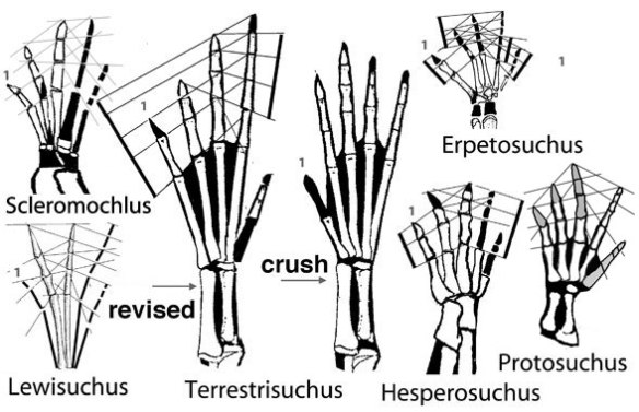 Figure 2. Basal crocs hands with a focus on a new reconstruction of the hand of Terrestrisuchus that more closely follows the patterns of sister taxa.