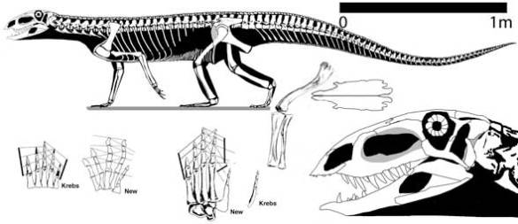 Figure 2. Ticinosuchus overall, hand, foot and skull.