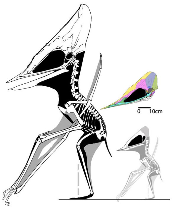 Figure 1. Ontogenetic skull and crest development in Tupuxuara. Note the eyes are small and the rostrum is long in juveniles. Only the crest expands and only posteriorly.